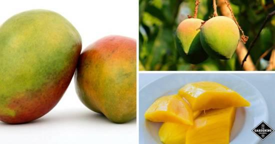 why eat mango