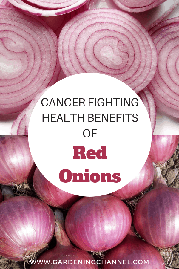 sliced red onions and harvested red onions from garden with text overlay cancer fighting health benefits of red onions