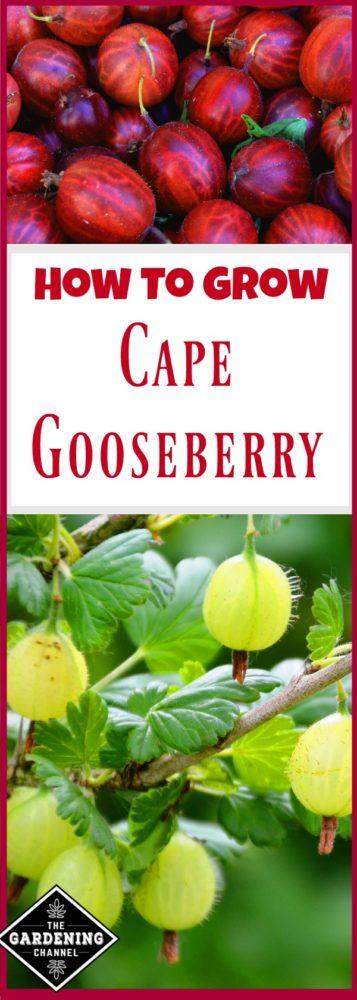 Growing Gooseberry