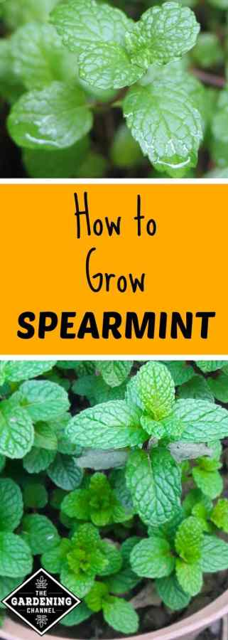How to Grow Spearmint in the Herb Garden