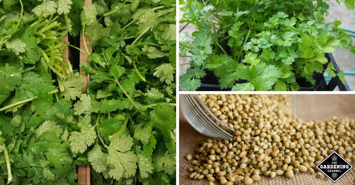 How To Grow Coriander Gardening Channel