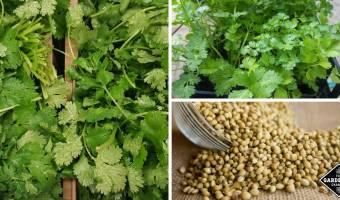 cilantro and coriander