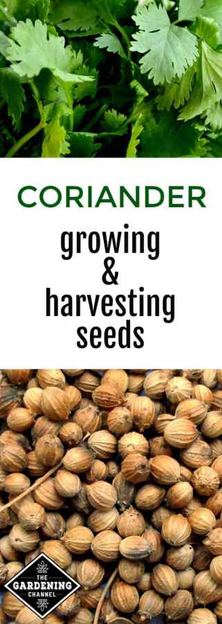 growing and harvesting coriander seeds
