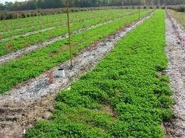 annual rye grass cover crop