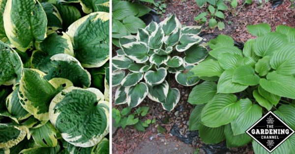 How To Divide Hostas Gardening Channel