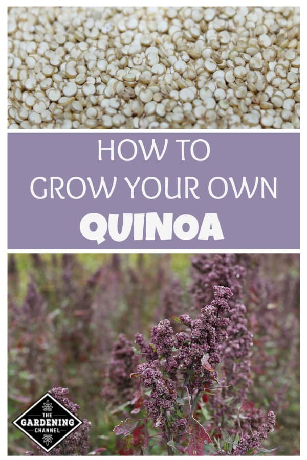 close up quinoa grains and quinoa in field with text overlay how to grow your own quinoa