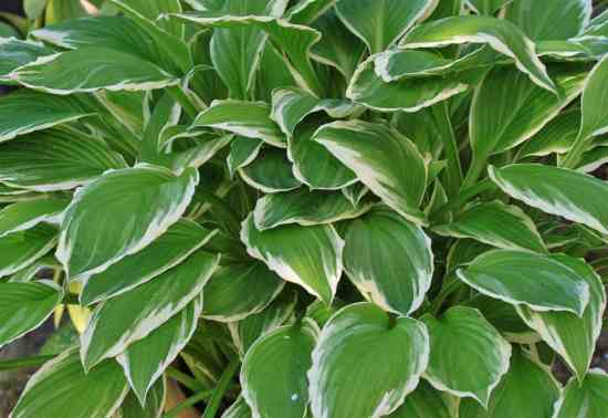 learn to divide hostas