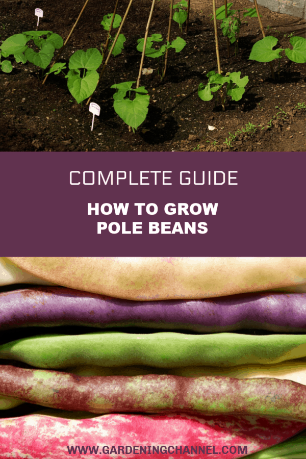 pole beans in garden with heirloom pole beans with text overlay complete guide how to grow pole beans