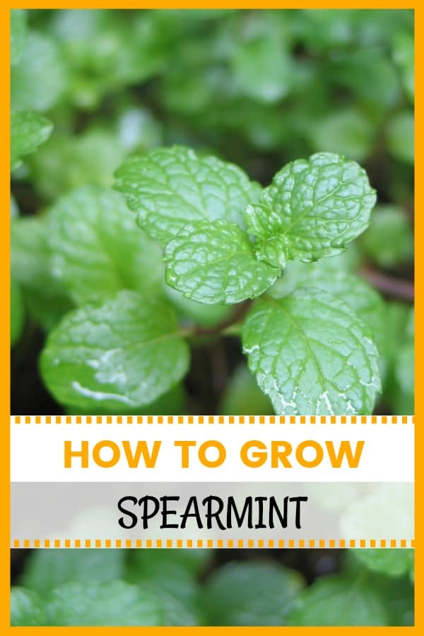 Spearmint growing in container with text overlay how to grow spearmint
