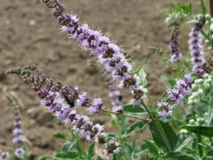 spearmint blooming