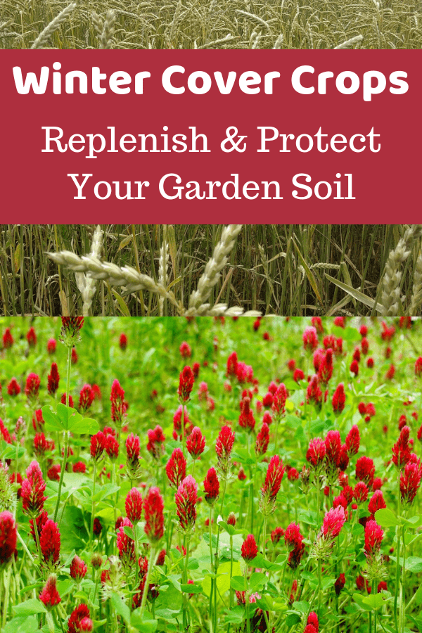 spelt and crimson clover with text overlay winter cover crops replenish and protect your garden soil
