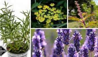 medicinal herbs to grow