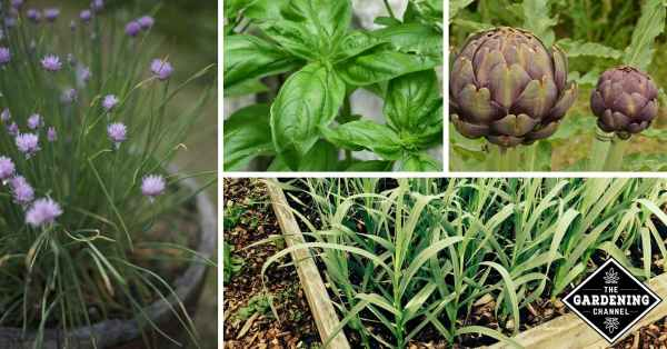 Perennials: These Herbs and Vegetables Stick Around