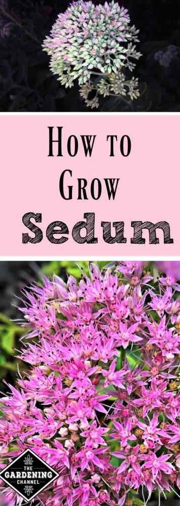 Learn how to grow sedum in your garden. It's a low maintenance succulent.