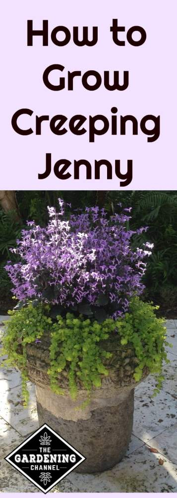 Learn how to grow creeping jenny, a perennial that grows well in most of the US. Try planting in your container garden.