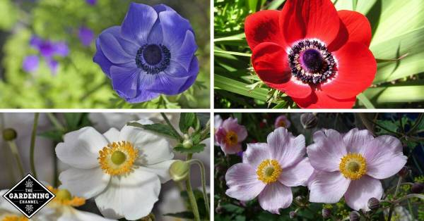How to Grow Anemone Flowers