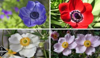 anemone flowers growing