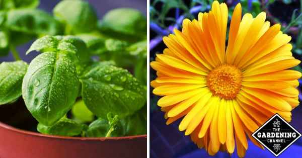 Companion Planting: Herbs that Pair Perfectly As Growing Partners