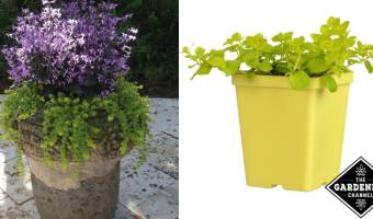 how to grow creeping Jenny