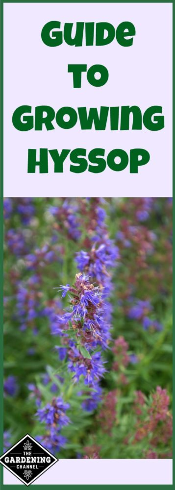 Learn how to plant and care for hyssop. This perennial can provide height in you garden.
