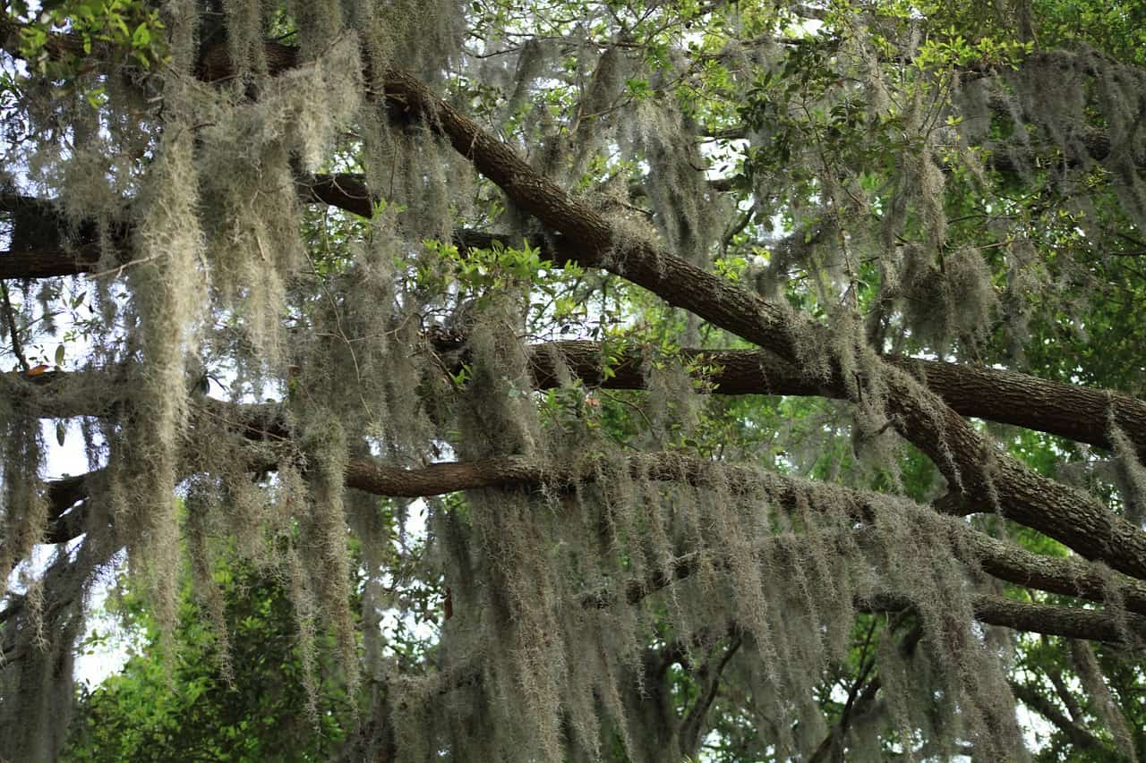 How To Grow Spanish Moss Gardening Channel