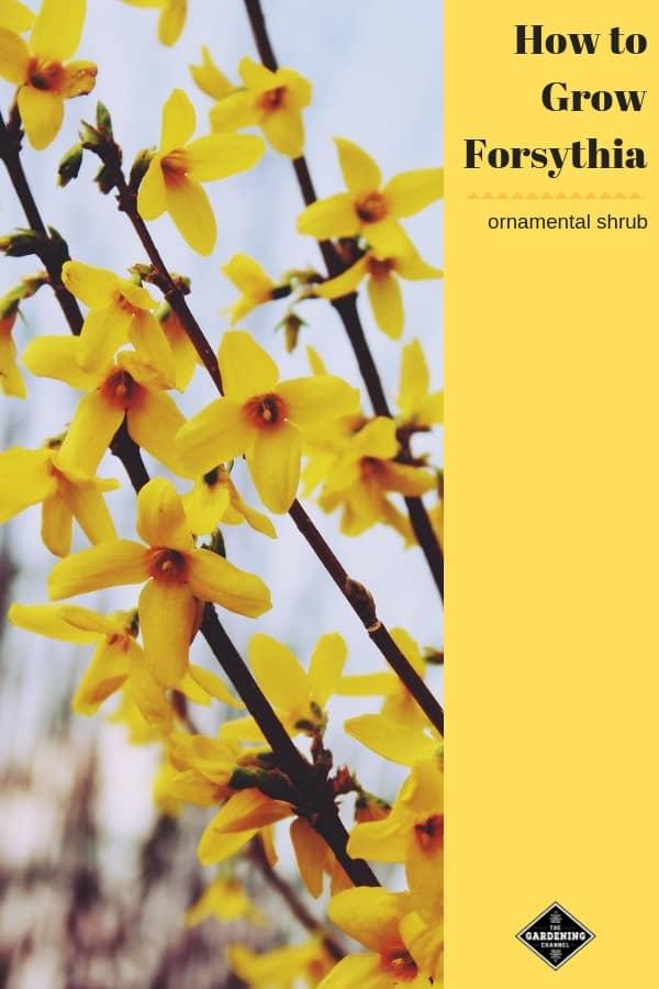 forsythia shrub with text overlay how to grow forsythia ornamental shrub