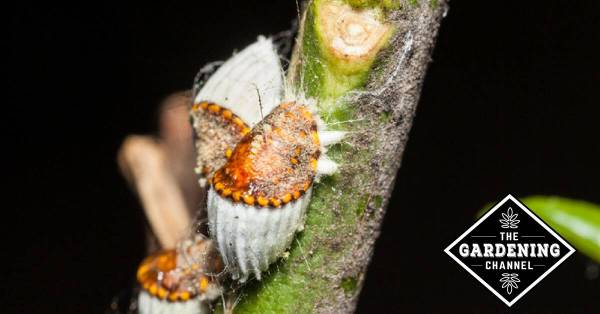 close up of scale infestation on plant stem