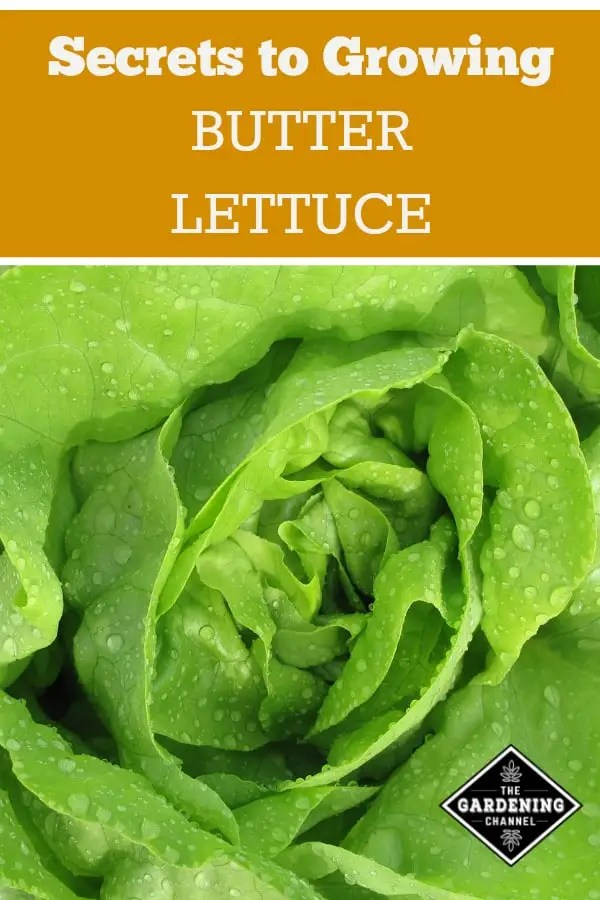 bibb lettuce with text overlay secrets to growing butter lettuce