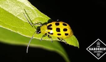 spotted cucumber beetle on leaf