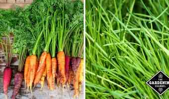 caompanion plants carrots and chives to prevent carrot root flies