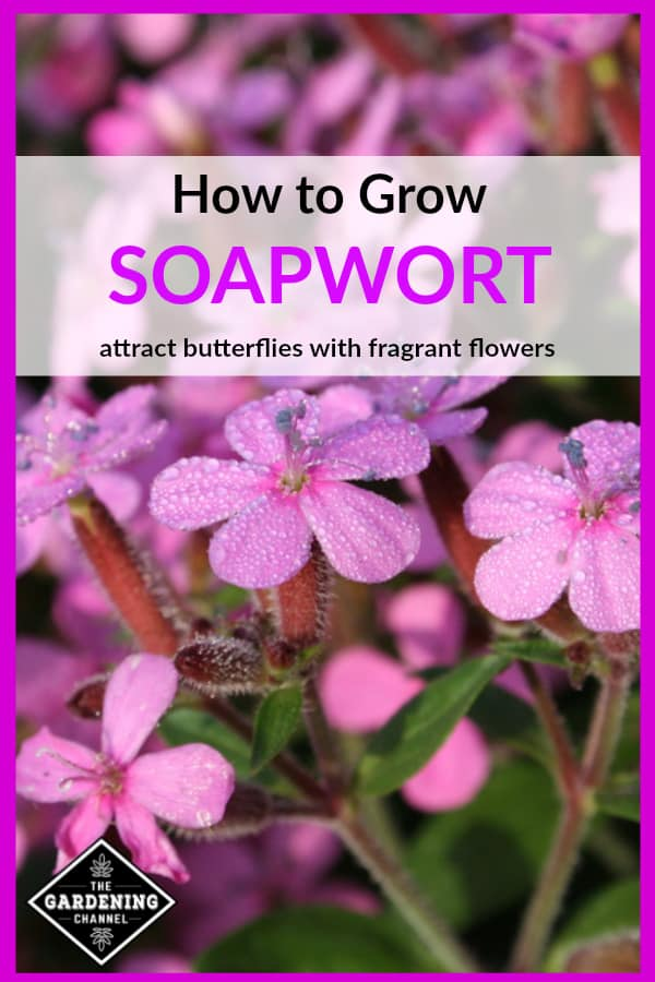 soapwort growing in garden with text overlay how to grow soapwort attract butterflies with fragrant flowers