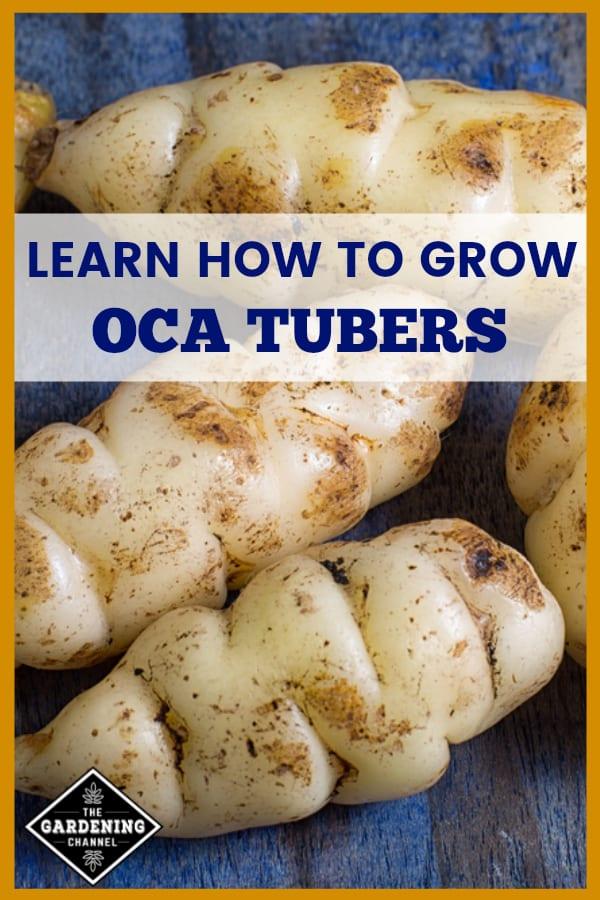 harvested oca with text overlay learn how to grow oca tubers