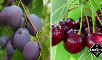 plums and cherries
