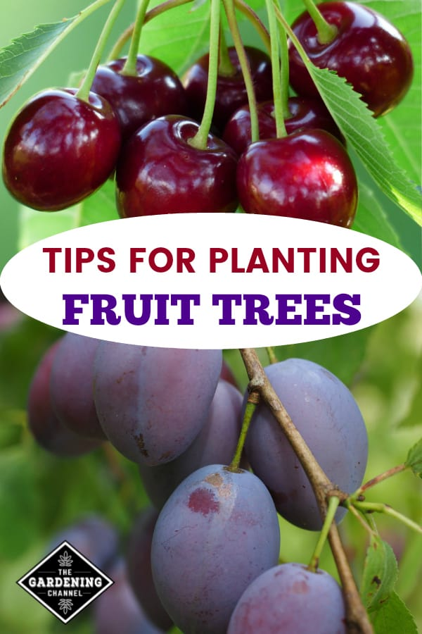 cherry tree and plum tree with text overlay tips for planting fruit trees