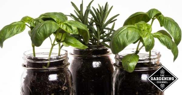 basil and rosemary planted in Mason jars