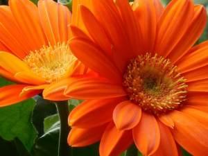 gerbera daisy flower orange