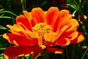 orange zinnia flower