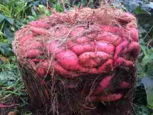 How To Grow A Massive Sweet Potato Harvest With Diy Containers