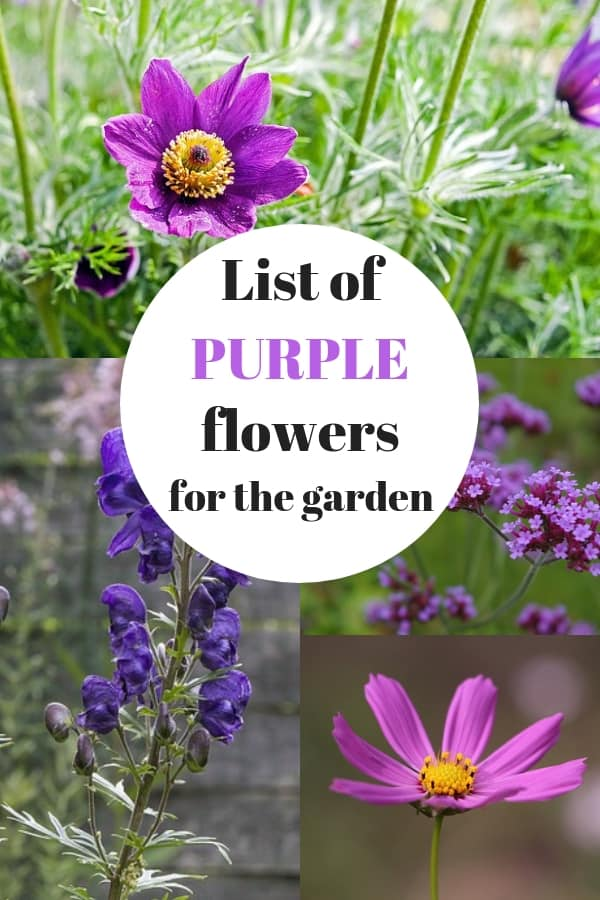 pasque cosmos verbena monkshood with text overlay list of purple flowers for the garden