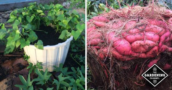 sweet potato in mineral tote