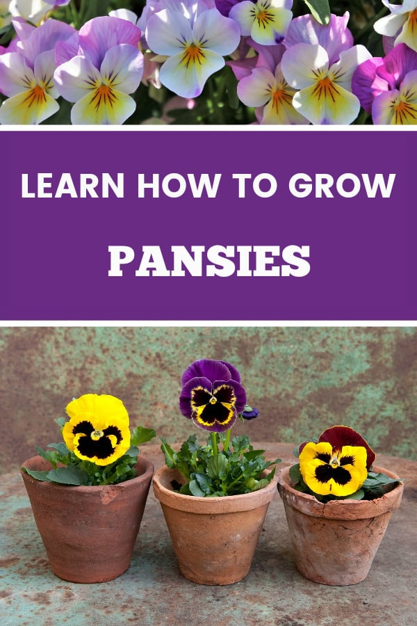 pansies in garden and pansies in planters with text overlay learn how to grow pansies