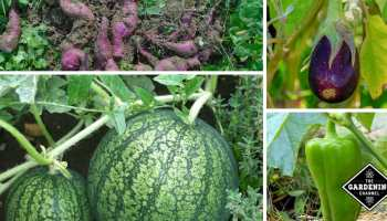 Common Tomato Diseases - Gardening Channel