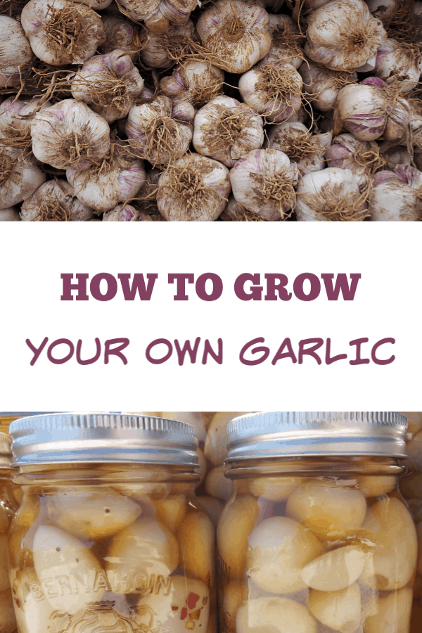 harvested garlic and pickled garlic with text overlay how to grow your own garlic