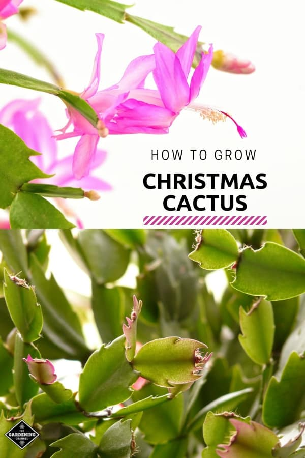 blooming christmas cactus and holiday cactus leaves with text overlay how to grow christmas cactus