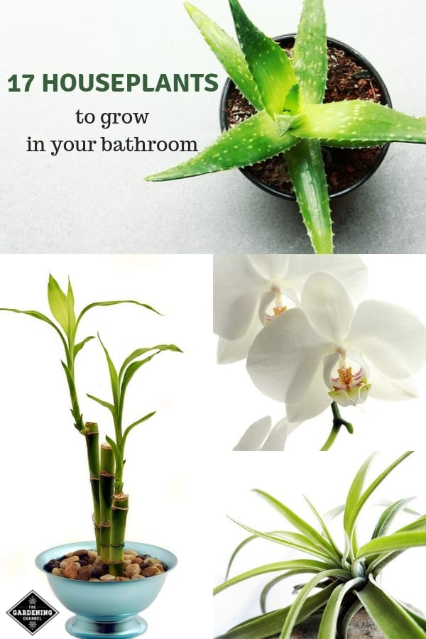 aloe vera bamboo orchid air plant with text overlay seventeen houseplants to growing in your bathroom
