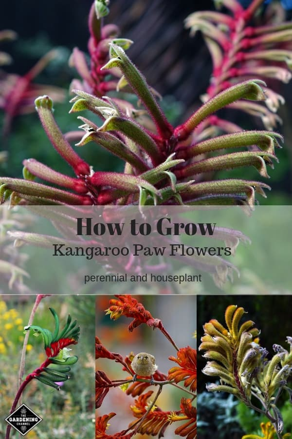 kangaroo flowers with bird in flowers and buds with text overlay how to grow kangaroo paw flowers perennial and houseplant