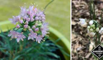 nodding onion growing tips