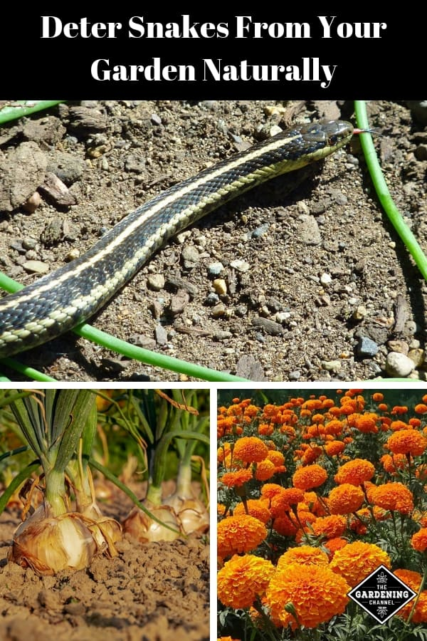 garden snake marigold onions with text overlay deter snakes from your garden naturally