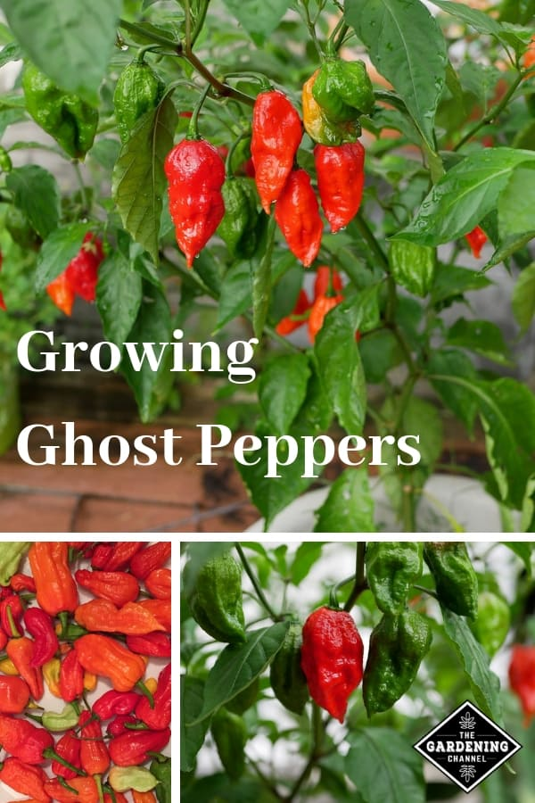 ghost peppers container and harvested with text overlay growing ghost peppers