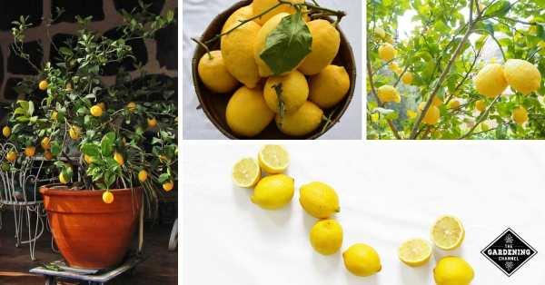 lemon tree container growing lemon trees